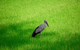 Anastomus oscitans or Asian Openbill stork bird, local birds living in organic rice fields. stock images