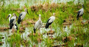 Anastomus oscitans or Openbill stork, local birds living in organic rice field in countryside. stock images