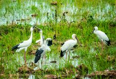 Anastomus oscitans or Openbill stork, local birds living in organic rice field and looking for shell food in countryside . royalty free stock photos