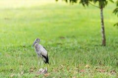 Anastomusoscitans på gräsfält arkivfoton