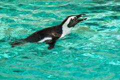 African Penguin - Spheniscus demersus. Anative of the waters off South Africa, a captive African Penguine swims in the shallow water at the zoo. Also known as a royalty free stock images