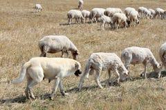 Anatolian护羊狗 免版税库存图片