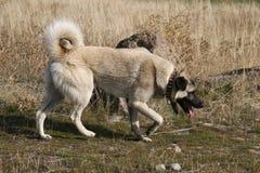 anatolian狗kangal牧羊人 免版税库存图片