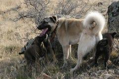 anatolian狗kangal牧羊人 图库摄影