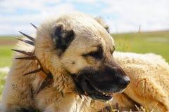 Anatolian собака чабана при спиковой железный воротник лежа на выгоне стоковые изображения