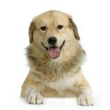 anatolian чабан собаки Стоковая Фотография RF