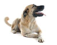 anatolian чабан собаки стоковые фотографии rf