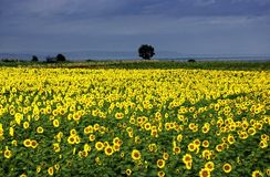 Anatolian fält för solblomma Royaltyfri Fotografi