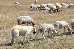 Anatolian sheepdog Royalty Free Stock Images