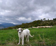 Anatolian sheepdog Royalty Free Stock Photos