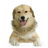 Anatolian Shepherd Dog Royalty Free Stock Photography