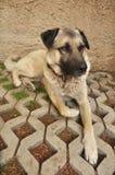 Anatolian Shepherd Dog. Lying on ground Royalty Free Stock Photos