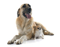 Anatolian Shepherd dog and chihuahua Royalty Free Stock Photo