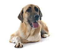 Anatolian Shepherd dog Stock Images