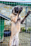 Anatolian Shepherd Dog kangal Stock Photo