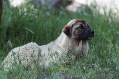 Anatolian shepherd stock photo