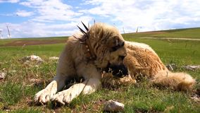 Anatolian shepherd dog with spiked iron collar lying on pasture. Spiked iron collar protects the necks of dog against wolf stock footage