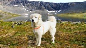Anatolian shepherd dog. stock images