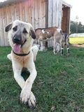 Anatolian shepherd and her goats Royalty Free Stock Photos