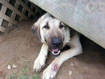 Anatolian shepherd under porch Stock Images