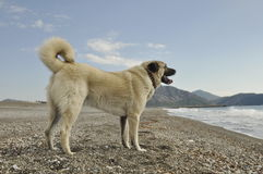 Anatolian Shepperd dog. Purebred Anatolian Shepperd dog standing on the beach Stock Images