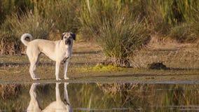 Anatolisches Schäfer-Dog On Lake-Ufer lizenzfreies stockfoto