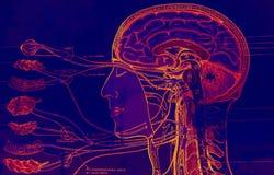 Anatomía Foto de archivo
