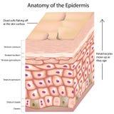 anatomía 3d de la epidermis ilustración del vector