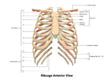 Anatomía anterior esquelética de la opinión del sistema Ribcage del cuerpo humano ilustración del vector