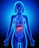 Anatomía biliar femenina en radiografía azul Fotos de archivo libres de regalías