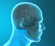 Anatomía de la cabeza de la radiografía del cráneo del cerebro Imagen de archivo