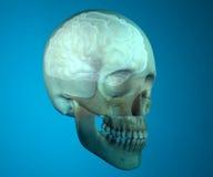 Anatomía de la cabeza de la radiografía del cráneo del cerebro Fotos de archivo