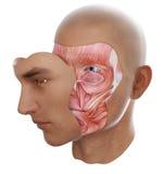 Anatomía de la cara ilustración del vector