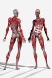 anatomía de la carrocería 3D Imagenes de archivo