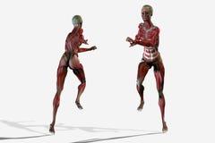 anatomía de la carrocería 3D Imagen de archivo