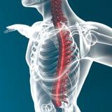 Anatomía de la espina dorsal del cuerpo humano Foto de archivo libre de regalías