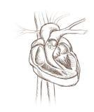 Anatomía de la estructura del corazón. Corte transversal del corazón. Foto de archivo