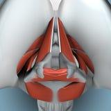 Anatomía de la laringe Imágenes de archivo libres de regalías