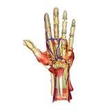 Anatomía de la mano Imágenes de archivo libres de regalías