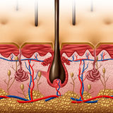Anatomía de la piel Imagen de archivo