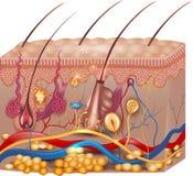 Anatomía de la piel ilustración del vector