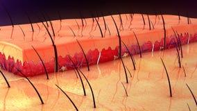 Anatomía de la piel Fotografía de archivo
