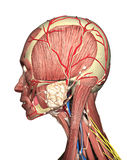 Anatomía de la representación principal de la vista lateral 3D Fotografía de archivo