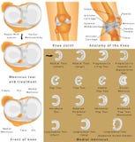 Anatomía de la rodilla Imágenes de archivo libres de regalías