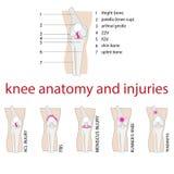 Anatomía de la rodilla Foto de archivo libre de regalías