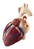 Anatomía de la vista lateral del corazón humano Imagenes de archivo