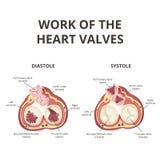 Anatomía de las válvulas de corazón Imagen de archivo libre de regalías
