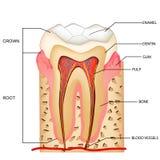 Anatomía de los dientes Imágenes de archivo libres de regalías
