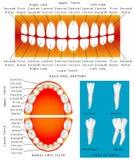 Anatomía de los dientes de los niños Fotografía de archivo