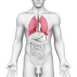 Anatomía de los pulmones del sistema respiratorio masculino Fotografía de archivo